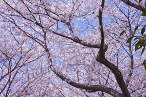 04_満開の桜