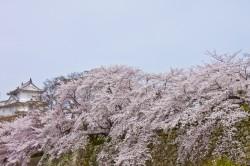 07_桜と櫓