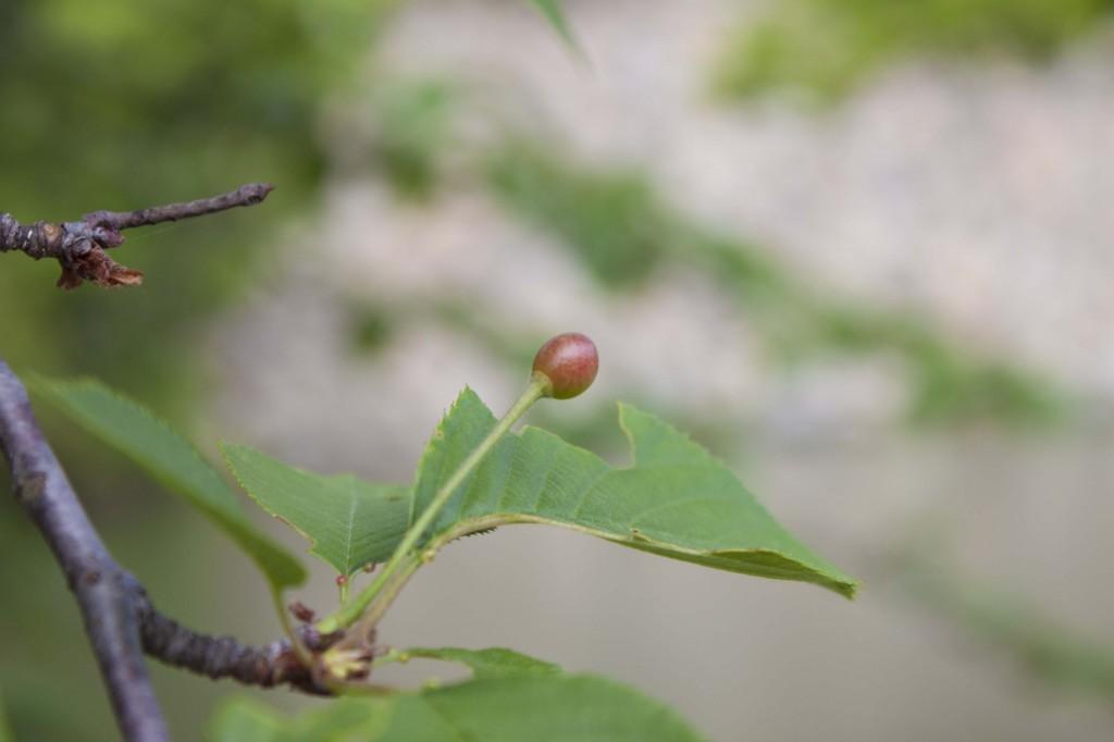 05_桜も散り種子が実り始めています