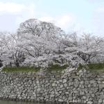 桜満開@姫路城2013・桜(姫路播磨国総社三ツ山大祭)