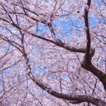 桜満開@姫路城2014・桜