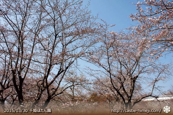 sakura2015pre_04