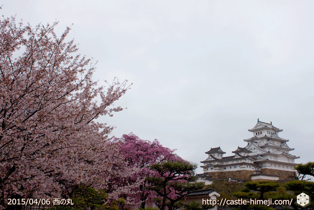 cherry-blossoms-end2015_08