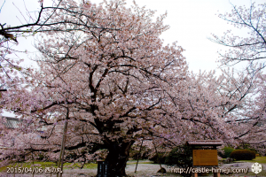 cherry-blossoms-end2015_09