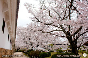 cherry_blossoming2015_10