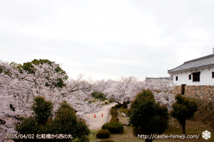 cherry_blossoming2015_11