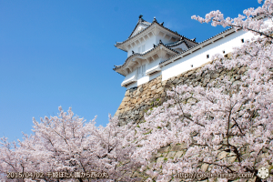 cherry_blossoming2015_12