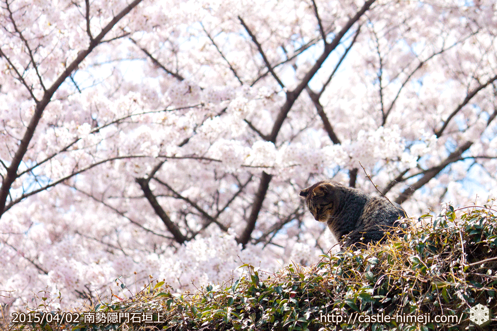 cherry_blossoming2015_21