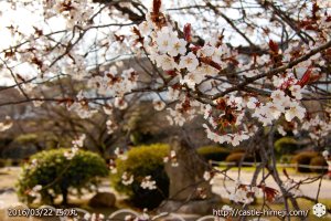 cherry-blossoms20160322_19