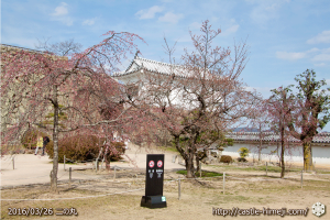 cherry-blossoms20160326_17