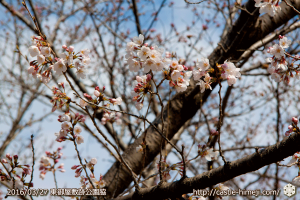 cherry-blossoms20160327_11