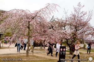 cherry-blossoms20160330_2_07