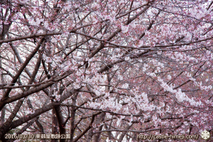 cherry-blossoms20160330_2_13