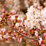 eye_cherry-blossoms20160330