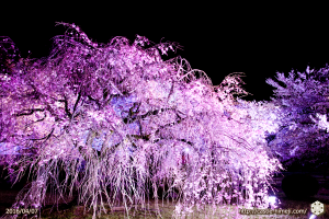cherry-bloom-night2016-last-day_06