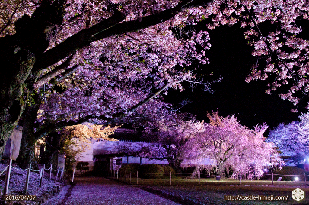 cherry-bloom-night2016-last-day_07