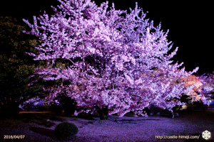 cherry-bloom-night2016-last-day_09