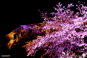 cherry-bloom-night2016-last-day_10
