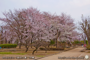 cherry-blossoms20160331_09