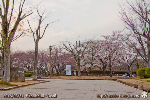 cherry-blossoms20160331_10