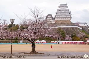 cherry-blossoms20160401_01