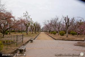 cherry-blossoms20160401_05