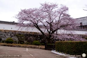 cherry-blossoms20160401_06