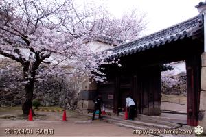 cherry-blossoms20160401_08
