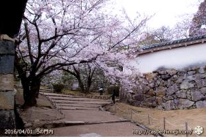 cherry-blossoms20160401_09