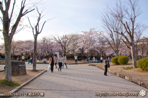 cherry-blossoms20160402_06