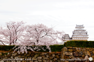 cherry-blossoms20160404_01