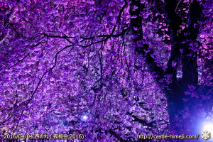 cherry-full-bloom-night2016_11