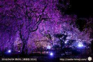 cherry-full-bloom-night2016_15