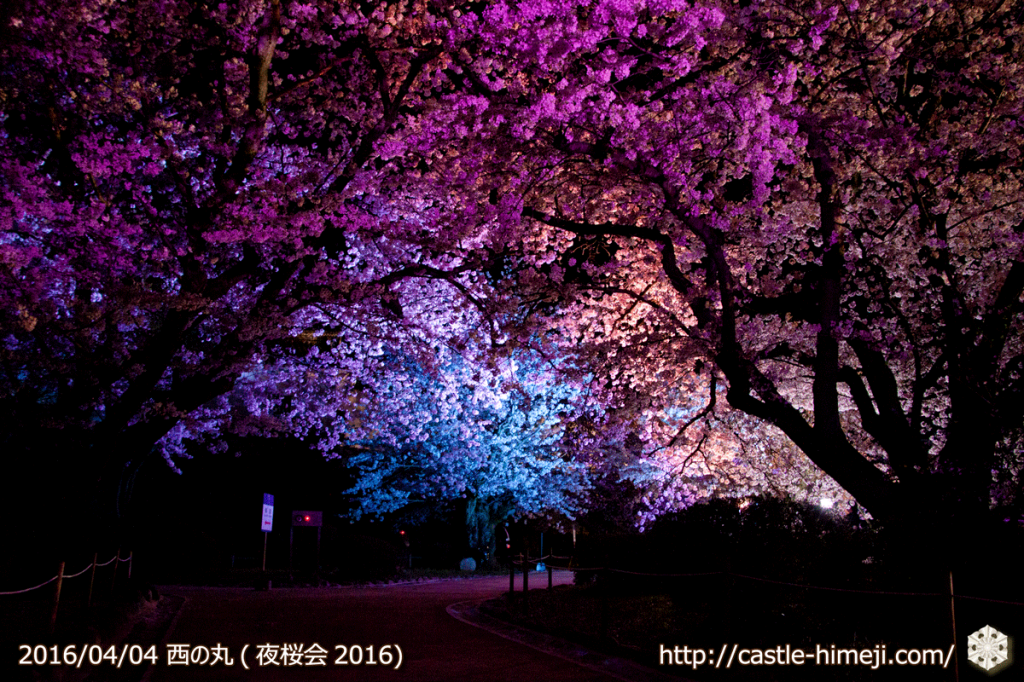 cherry-full-bloom-night2016_20