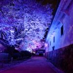 eye_cherry-full-bloom-night2016
