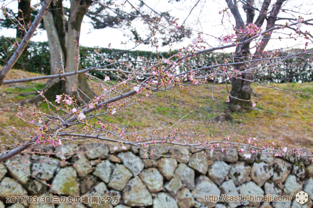 blooming-cherry-blossoms_03