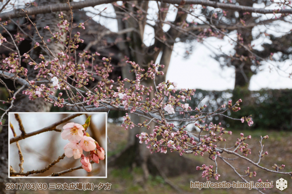 blooming-cherry-blossoms_04