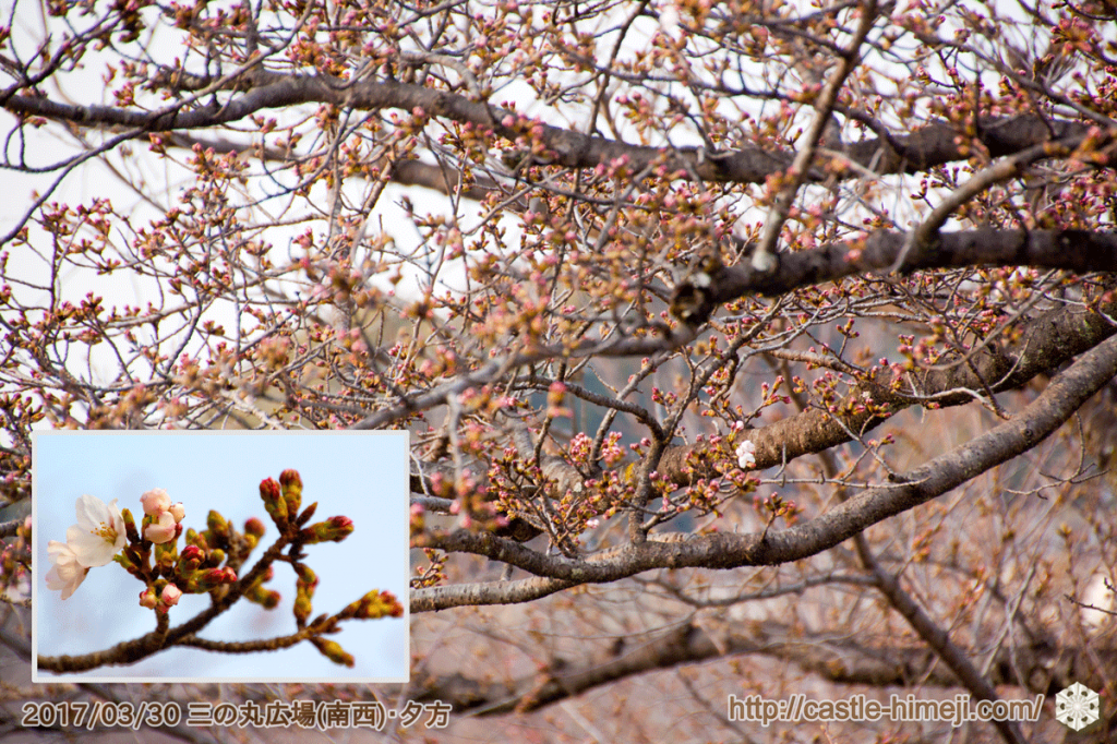 blooming-cherry-blossoms_08