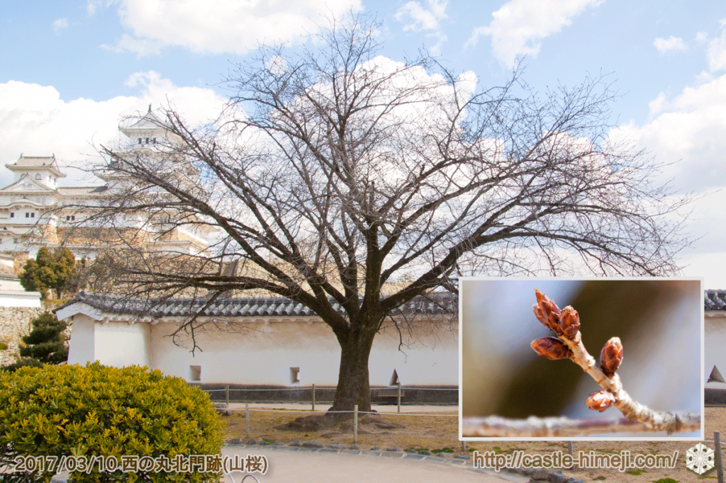 bud-bulging-cherry-blossoms_14