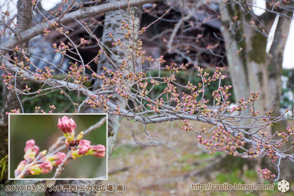 bud-colored-cherry-blossoms_03