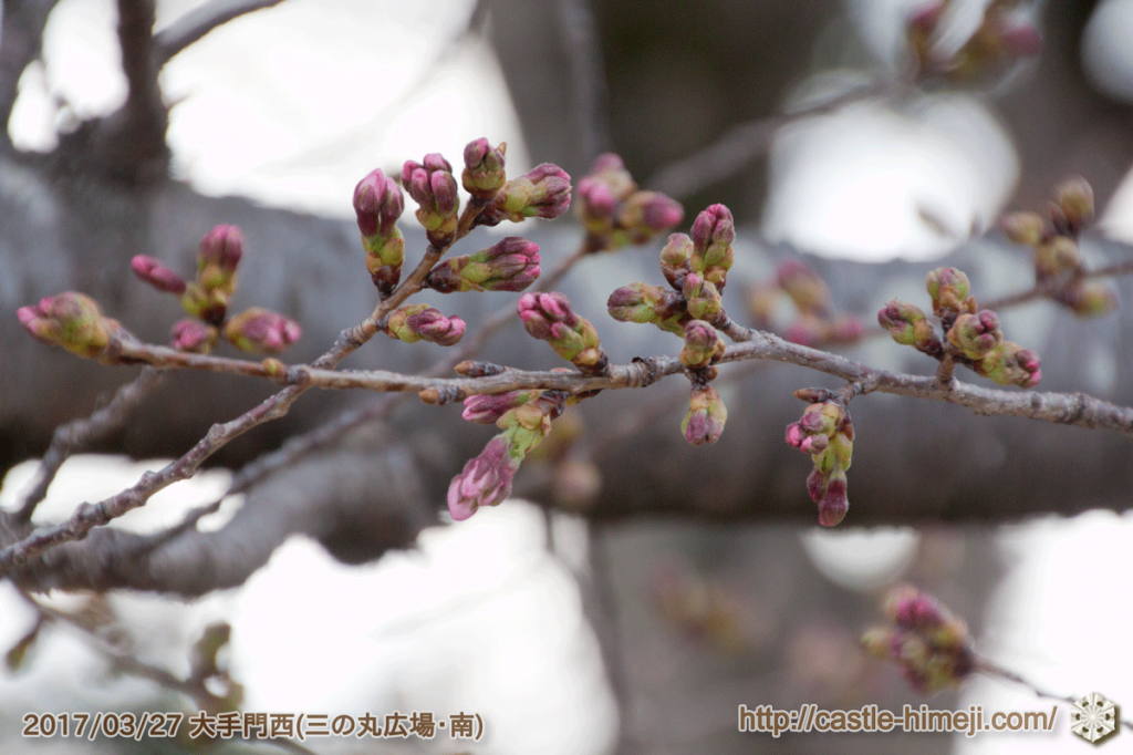 bud-colored-cherry-blossoms_04