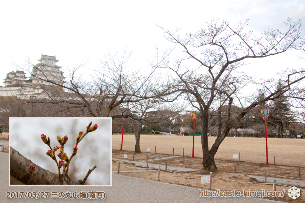 bud-colored-cherry-blossoms_05