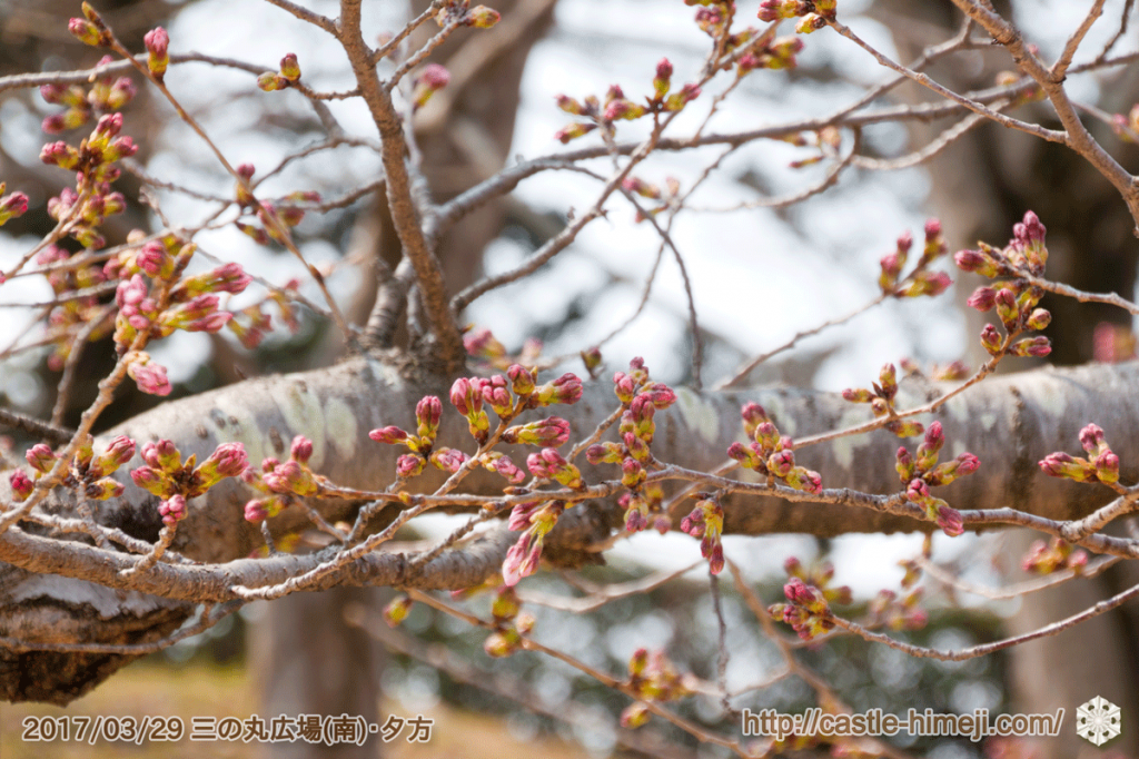 bud-opening-cherry-blossoms_04