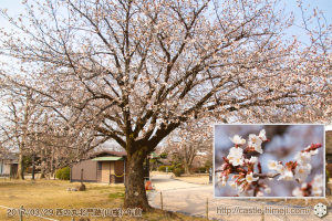 bud-opening-cherry-blossoms_08