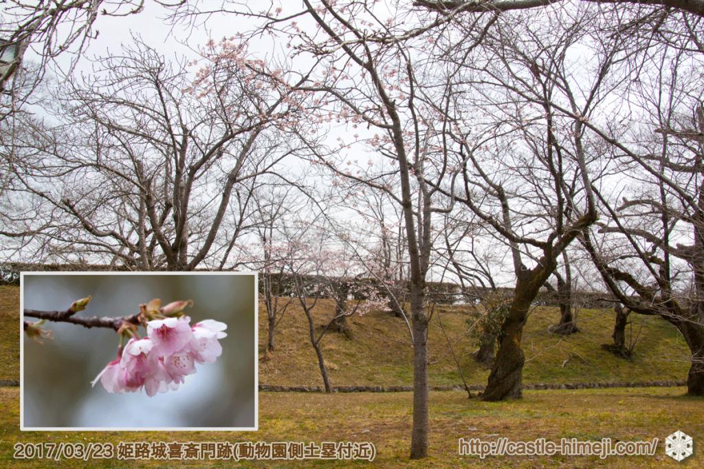 bud-tinted-cherry-blossom2_01