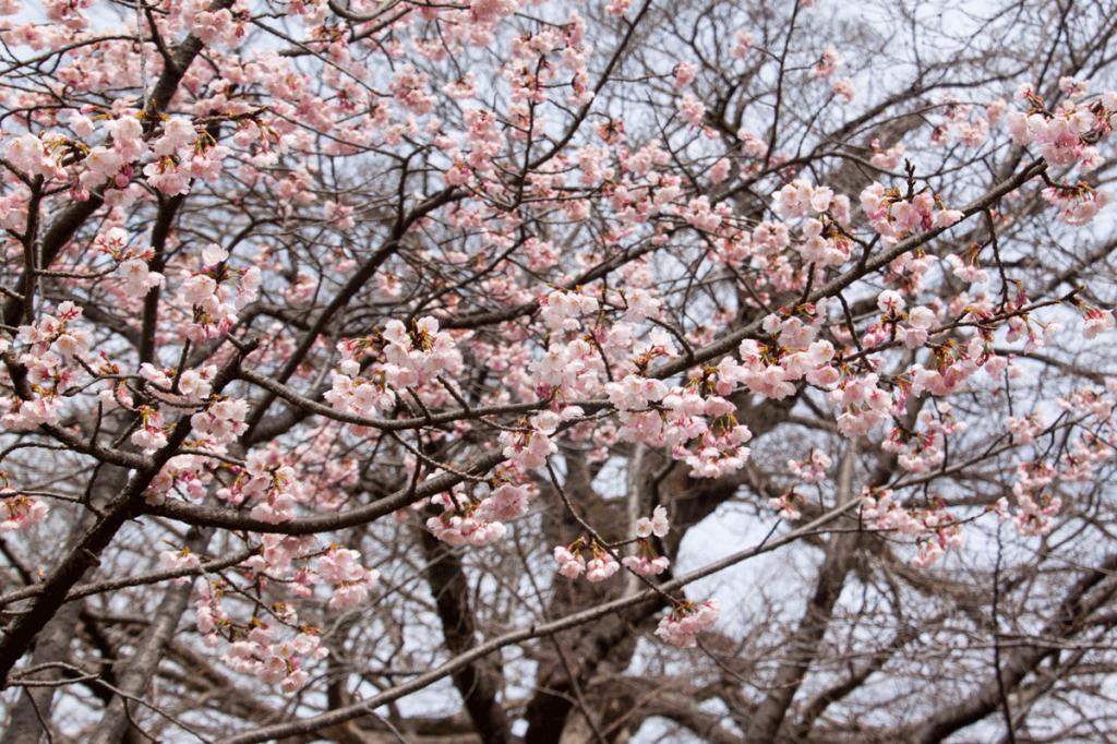 bud-tinted-cherry-blossom2_02