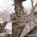 bud-tinted-cherry-blossom_03