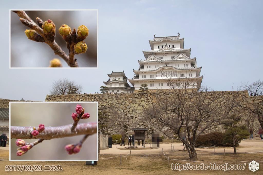 bud-tinted-cherry-blossom_10