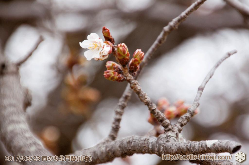 bud-tinted-cherry-blossom_16