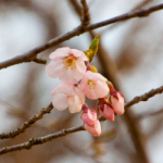 eye_blooming-cherry-blossoms